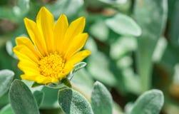 Flor amarilla en el jardín Fotografía de archivo