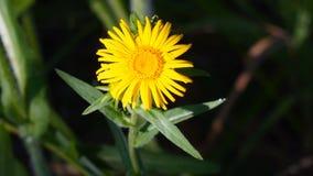 Flor amarilla en el rayo del sol en un fondo oscuro metrajes