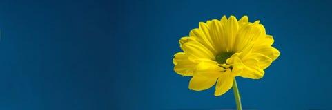 Flor amarilla en fondo azul marino Imagenes de archivo