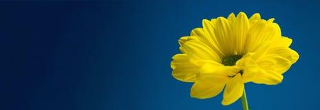 Flor amarilla en fondo azul marino Imágenes de archivo libres de regalías