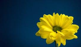 Flor amarilla en fondo azul marino Fotos de archivo libres de regalías