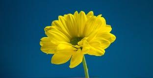 Flor amarilla en fondo azul marino Fotos de archivo