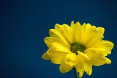 Flor amarilla en fondo azul marino Fotografía de archivo