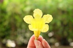 Flor amarilla en fondo del verde del bokeh de la falta de definición Fotos de archivo libres de regalías