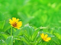 Flor amarilla en hierba Fotos de archivo libres de regalías