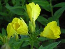 Flor amarilla en jardín imagenes de archivo