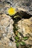 Flor amarilla en la roca Imagenes de archivo