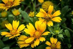 Flor amarilla en las hojas verdes Fotografía de archivo