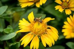 Flor amarilla en las hojas verdes Foto de archivo