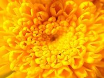 Flor amarilla en macro Imágenes de archivo libres de regalías