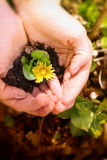 Flor amarilla en manos Fotografía de archivo libre de regalías