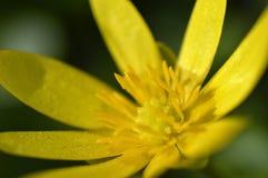 Flor amarilla en prado Imagen de archivo libre de regalías
