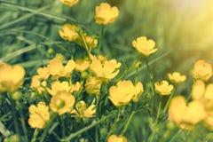 Flor amarilla en prado - flor del ranúnculo en hierba Imagenes de archivo
