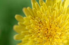 Flor amarilla en un fondo verde Foto de archivo libre de regalías