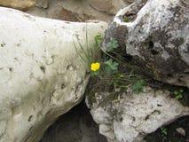 Flor amarilla entre las piedras Foto de archivo
