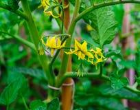 Flor amarilla grande de un tomate en un día soleado en el jardín foto de archivo