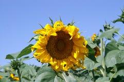 Flor amarilla grande del sol Fotografía de archivo
