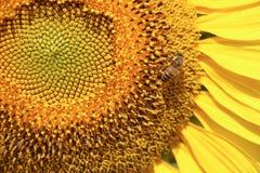 Flor amarilla grande del sol Imágenes de archivo libres de regalías