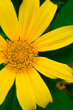 Flor amarilla hermosa Foto de archivo libre de regalías