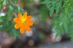 Flor amarilla hermosa Imagenes de archivo