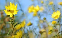 Flor amarilla hermosa con la abeja Fotografía de archivo