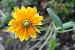 Flor amarilla hermosa con las hojas verdes Foto de archivo libre de regalías