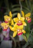 Flor amarilla hermosa de la orquídea de Aerides Imagenes de archivo