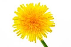 Flor amarilla hermosa del diente de león Foto de archivo libre de regalías