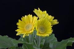 Flor amarilla hermosa del gerbera de las margaritas Foto de archivo