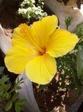 Flor amarilla hermosa del Hawaiian del hibisco Foto de archivo libre de regalías