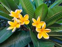Flor amarilla hermosa del plumeria Fotos de archivo libres de regalías