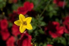 Flor amarilla hermosa en fondo borroso Foto de archivo