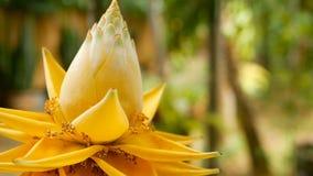 Flor amarilla hermosa en jardín Opinión macra del primer el plátano enano chino en fondo natural borroso selectivo almacen de video