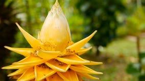 Flor amarilla hermosa en jardín Opinión macra del primer el plátano enano chino en fondo natural borroso selectivo almacen de metraje de vídeo