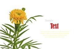 Flor amarilla hermosa (maravillas africanas, Tagetes) aislada Foto de archivo libre de regalías