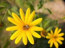 Flor amarilla hermosa y una abeja que se sienta en ella Fotos de archivo