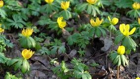 Flor amarilla, hyemalis del Eranthis almacen de metraje de vídeo