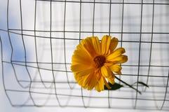 flor amarilla insertada en una rejilla del metal en el fondo del cielo y de la hierba imagen de archivo libre de regalías