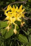 Flor amarilla inusual en Bush Imagenes de archivo