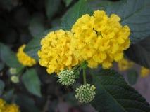 Flor amarilla la India del camara del lantana fotos de archivo