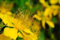 Flor amarilla a lo largo del borde de la carretera Fotos de archivo