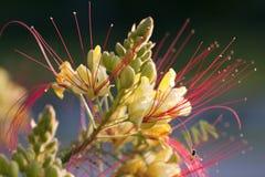 Flor amarilla a los pétalos rojos Fotografía de archivo