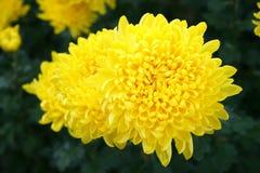 Flor amarilla, maravilla Fotos de archivo libres de regalías