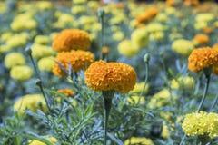 Flor amarilla, maravilla Imágenes de archivo libres de regalías