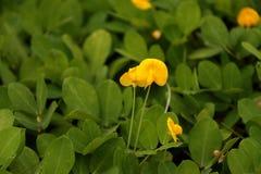 Flor amarilla minúscula Fotos de archivo libres de regalías