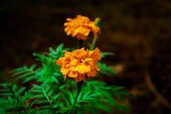 Flor amarilla natural Sri Lanka del color foto de archivo