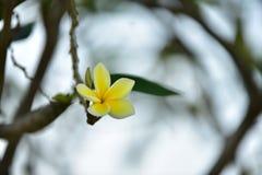 Flor amarilla o flor amarilla Foto de archivo libre de regalías