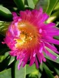 Flor amarilla púrpura cercana ascendente hermosa 4k de la playa Fotografía de archivo libre de regalías