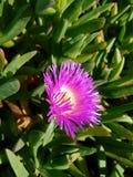 Flor amarilla púrpura 4k de la playa Fotografía de archivo libre de regalías