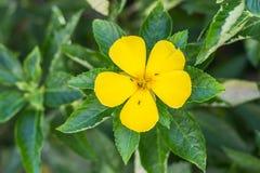 Flor amarilla que florece en el jardín, hormiga en la flor, ramgoat das imágenes de archivo libres de regalías